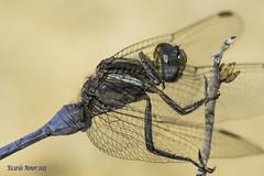 Portrait of Orthetrum chrysostigma (Ricardo Menor) Tags: odonatos odonata anisópteros libélulas dragonflies dragonfly airelibre iluminaciónnatural macho machoadulto male adultmale canon60d orthetrumchrysostigma salinas2015 2015 salinas primerplano sinrecortes
