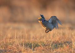 Sharptail Grouse Mating Dance_51 (Scott_Knight) Tags: sharptail grouse wisconsin canon mating jump lookingforlove