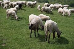 Owce (WMLR) Tags: rytro małopolskie polska pl hd pentaxd fa 2470mm f28ed sdm wr pentax k1