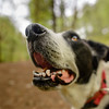 Zac, always optimistic! (grahamrobb888) Tags: nikon nikond800 d800 nikkor nikkor20mmf18 scotland birnamwood perthshire woods woodland zac dog pet