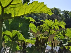 2018 0507 537 (SGS8+) Sheffield Park (Lucy Melford) Tags: samsunggalaxys8 sheffield park gunera