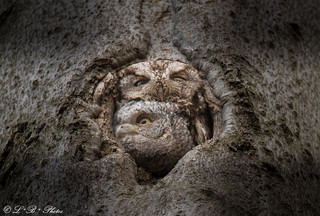 Eastern screech owl and owlet