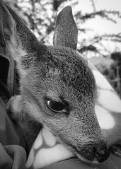 Now my name is Hope (alejandrabassoph) Tags: hope animal bodypart animalhead animalthemes animalwildlife animalsinthe wild brown closeup day deer domesticanimals fawn focusonforeground herbivorous mammal nopeople oneanimal outdoors pets vertebrate