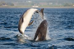 Dolphin Season Again! (cjdolfin) Tags: bottlenosedolphin chanonrypoint fortrose highland morayfirth rossshire scotland scottish tursiopstruncatus blue breach cjdolfin dolphin highlands jump mammal marine marinemammal nature odontocete pair sun two wild wildlife young