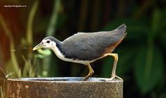IMG_3221 White-breasted Waterhen (Amaurornis phoenicurus) (vlupadya) Tags: greatnature anima aves fauna indianbirds whitebreasted waterhen amaurornis kundapura karnataka