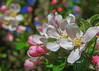 apple blossom time (lowooley.) Tags: apple blossom eastallenvalley northpennines northernengland