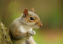 Grey squirrel (PhotoLoonie) Tags: squirrel greysquirrel animal mammal nature wildlife spring