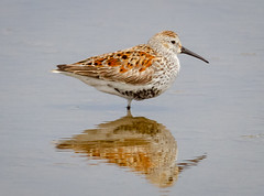 Dunlin posing on one leg (tresed47) Tags: 2018 201805may 20180509njwetlandsbirds birds canon7d content dunlin folder may newjersey peterscamera petersphotos places season shorebirds spring takenby us wetlandsinstitute ngc