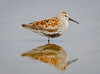 Dunlin posing on one leg (tresed47) Tags: 2018 201805may 20180509njwetlandsbirds birds canon7d content dunlin folder may newjersey peterscamera petersphotos places season shorebirds spring takenby us wetlandsinstitute