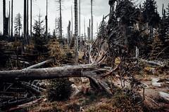Wieder entwurzelt (Gruenewiese86) Tags: abteilung brocken brockentour deutschland fuji harz wald wanderung wandern xe1 hütte hüttenübernachtung wälder waldlandschaft waldlandschaften waldboden hiking holz baum germany park