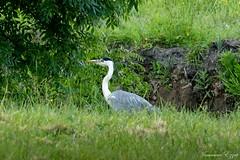 Héron cendré Ardea cinerea - Grey Heron (Ezzo33) Tags: héron cendré ardea cinerea grey heron france gironde nouvelleaquitaine bordeaux ezzo33 nammour ezzat sony rx10m3 parc jardin oiseau oiseaux bird birds specanimal