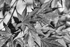 DSCF2829-2082.jpg (RHMImages) Tags: japanesemaple yard macro flowers bnw fuji monochrome leaves blackandwhite grassvalley fujifilm xt2