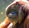 orangutan Kevin Apenheul BB2A1432 (j.a.kok) Tags: orangutan orangoetan orang animal asia azie ape apenheul aap mammal monkey mensaap primaat primate zoogdier dier kevin