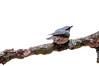 European nuthatch Sitta europaea on white background (svetoslavradkov) Tags: sitta songbird animal avian beak bird birdfeeder birdie birdwatching crackingnuts crawlingbird crawlingtrunk creature eurasiannuthatch europeanbird europeannuthatch fauna feather feedbirds feedrack feedbox feeder feeding feedingbirds forest forestbird funnybirds garden gardenbird goesupsidedown movingbirds nature noisybird nutcracker nuthatch plumage sittaeuropaea stockingfood storenuts storeseeds tree wild wildlife wing winter winterbird winteringbirds wintertime wood woodland