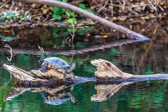 Red-eared Slider (Allan Hack) Tags: bernalgulnacjoiceranch animals wildlife reptiles redearedslider hiking sanjose california unitedstates us