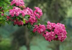 rosa Blütenzweig (dorisgoebel) Tags: blüten blossom ast branch rosa pink natur pflanze baum tree