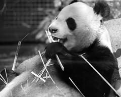 at. ueno zoo (Re: L.S.P. tokyo) Tags: panda