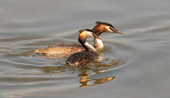 Together...Great-crested Grebes (Steve (Hooky) Waddingham) Tags: bird nature wild wildlife fish