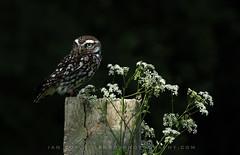 Little Owl (Ian R Roy) Tags: little owl raptor british bird brown nature