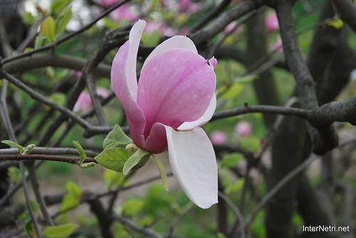 Ботанічний сад імені Гришка Цвітуть магнолії InterNetri  Ukraine 201