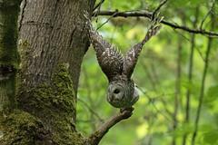 05202018Barred Owl FU5A1954 (Steven Arvid Gerde) Tags: owl