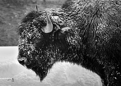 Harsh winter (gmacfly) Tags: bison yellowstone national park winter harsh cold frozen wildlife blackandwhite bw snow nikon usa