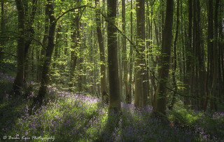 The Beauty Of Bluebells