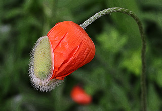 The birth of a poppy