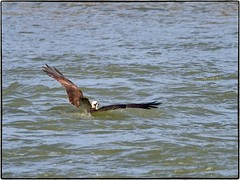 Osprey catching a fish_1 (geelog) Tags: