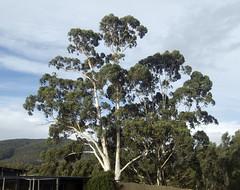 White Gum, Eucalyptus viminalis (Baractus) Tags: white gum eucalyptus viminalis john oates inala bruny island tasmania australia nature tours