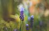 Spring bokeh (Dhina A) Tags: sony a7rii ilce7rm2 a7r2 enna werk münchen correlar 8cm f29 80mm correlar8cmf29 munchen german bubble bokeh triplet spring flower grape hyacinth bud