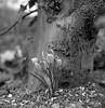Crocus vernus (Rosenthal Photography) Tags: ff120 rodinal15021°c11min 6x6 schwarzweiss anderlingen asa400 familie mittelformat städte 20180401 garten krokus ilfordhp5 rolleiflex35f bw analog bnw dörfer siedlungen crocusvernus crocus march spring garden nature macro backandwhite rolleiflex 35f f35 sk schneiderkreuznach 75mm ilford hp5 hp5plus xenotar rodinal 150 epson v800