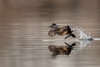 Ruddy Duck (f)-48455.jpg (Mully410 * Images) Tags: female avian birding birdsinflight birder coonrapidsdam ruddyduck nationalpark birds birdwatching duck fowl waterfowl mississippinationalriverrecreationarea bird