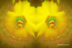 Daffodil macro (Stephenie DeKouadio) Tags: art artistic abstract abstractart abstractflower abstractflowers macroabstract macro hypnotique beautiful beauty yellow flowerabstract flowersabstract