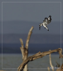 _DSC0288 (Eykat) Tags: alcyon martinpêcheur kingfisher barbican barbet bird oiseau baringo mara massai kenya buffalo buffle hoaxpecker piqueboeuf tchitrec wagtail