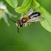 Solitary bee - stacked image (ArtFrames) Tags: solitary bee stacked image alder fly lumix 6 k insects uk summerleysreserve