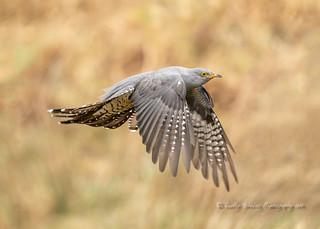 Cuckoo, first of the season.