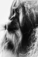 Methusalem (marfis75) Tags: nachdenklich nachdenken bedacht weise alt er denker denken denke thinking think portrait porträt bw blackandwhite monochrom sw schwarzweis reds red marfis75 ape face monkey orangutan affe sie