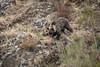 _MG_7900.jpg (Hans Van Loy) Tags: beren bruinebeer carnivora dieren gewervelden roofdieren zoogdieren