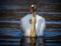 In the Light (Jens Haggren) Tags: swan bird animal light drops water reflections nature nacka sweden olympus em1 jenshaggren