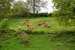 Troupeau aubrac (Cletus Awreetus) Tags: france rhône montsdulyonnais hauterivoire agriculture élevage bovin vache aubrac animal bétail pâturage troupeau animaldomestique arbre haie veau