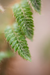 Fern (MikaJC) Tags: fern leaves bbg closeup