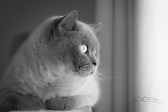 Watching birds (Lightcatcha) Tags: bokeh 50mm d7100 nikon weiss schwarz bw white black nature natur haustiere haustier animals animal pets pet kater katzen katze cats cat