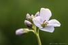Wiesen Schaumkraut (Re Ca) Tags: blüte essen frühling gruga makro nrw stadtessen blümchen makrofotografie wiesenschaumkraut natur canon sigma105mm