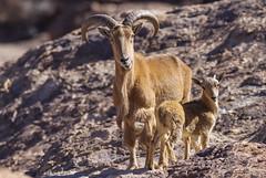 Barbary Sheep (Davor Desancic) Tags: hueco tanks state historic site huecotanks westtexas texas elpaso