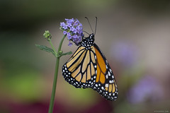 Butterfly 2018-19 (michaelramsdell1967) Tags: butterfly butterflies monarch monarchs animals animal insects insect green orange bokeh nature flower closeup upclose beauty beautiful pretty lovely vivid vibrant wing wings spring garden bug bugs flowers zen