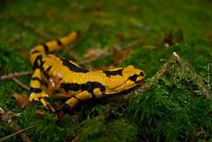 Salamandra del Fuoco (2) (devil78) Tags: raw rettile salamandradelfuoco rettili italia calabria serrevibonesi angilaro serrasanbruno parconaturaleregionaledelleserre lucertola salamandra nikon d80 1870vr davil78