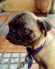 One of my friends pet princee . . . #sobangalore #bengaluru_nodi #bengaluru #pug #bulldog #doglover #pet #sleeping #dogporn #photography #ig_minimalshoot #ig_minimalist #minimalism #petlover #instaclick #petstagram #igers #pugsofinstagram #casualclick #ve (ps_avinash) Tags: petlover pugpuppies sobangalore instaclick prince minimalism puglove whitedog casualclick petstagram pug pet clicks dogporn bengalurunodi cutepets igers bangalore doglover bulldog photography ventage bengaluru igminimalist lovethisdog doggy sleeping pugsofinstagram igminimalshoot puglife