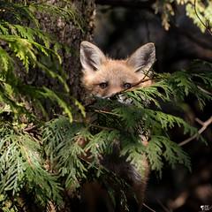 ''Cache-cache!''Renardeau-Fox (pascaleforest) Tags: wild wildlife animal nikon passion nature mammifère faune québec canada bébé babys printemps spring