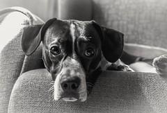 Tristeza incomprendida (mariusbucsa) Tags: perrito blancoynegro bw retrato animal mirada triste tristeza sillón miniño nikkor nikond5600 nikkor35mm18g nikon calatayud aragón es españa